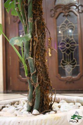 ریشه های هوایی گیاه برگ انجیری-سرچنار
