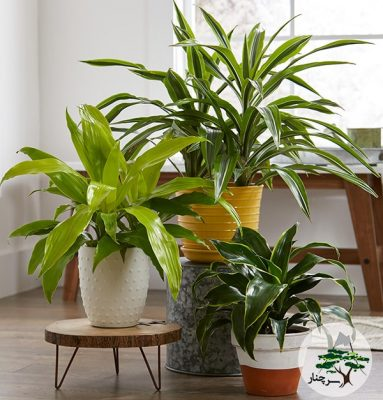 سرچنار گیاهان آپارتمان