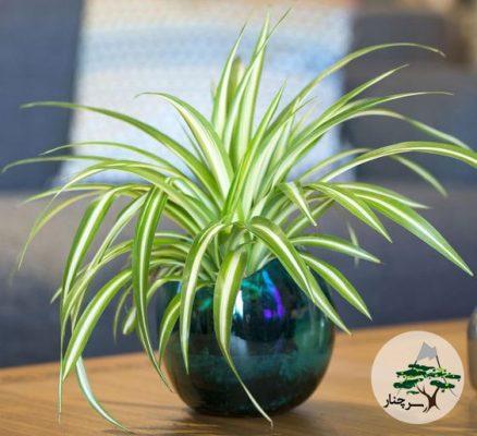 گیاه گندمی -سرچنار -Vittatum