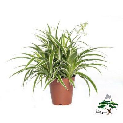 گیاه عنکبوتی - سرچنار -zebra