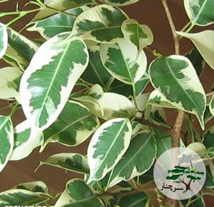 گیاه فیکوس بنجامین ابلق -سرچنار