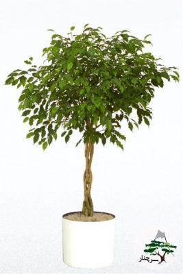 گیاه فیکوس بنجامین سیاه-سرچنار