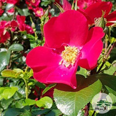 گل رز هیبریدی