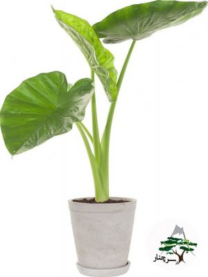 گیاه آپارتمانی بابا آدم سرچنار - Alocasia calidora