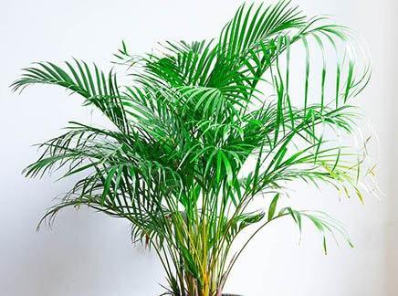گیاه آپارتمانی اریکا Areca Palm