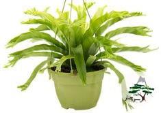 گیاه سرخس لانه پرنده