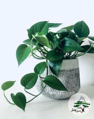 گیاه آپارتمانی پوتوس سیاه گیاهان آپارتمانی سریع الرشد