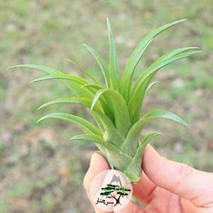 گیاه آپارتمانی تیلاندسیا ، مشخصات، انواع و شرایط نگهداری آن