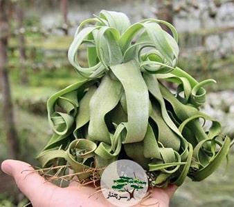 -گیاه آپارتمانی تیلاندسیا-Streptophylla