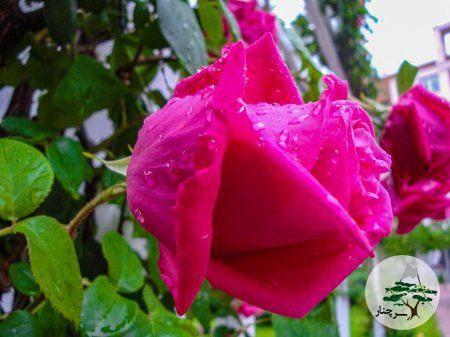 گل رز فلور