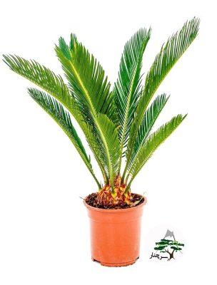 گیاه آپارتمانی سیکاس-گیاهان آپارتمانی مقاوم به کم آبی
