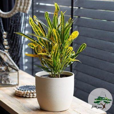 گیاه کروتون Banana Croton