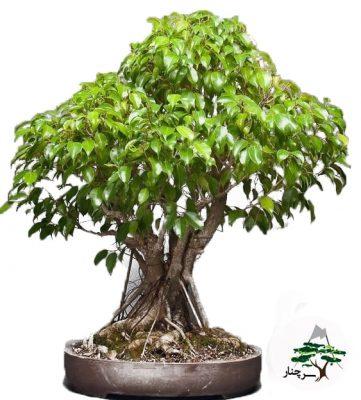 گیاه بن سای Bonsai retusa