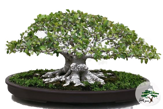 گیاه بن سای Bonsai ficus