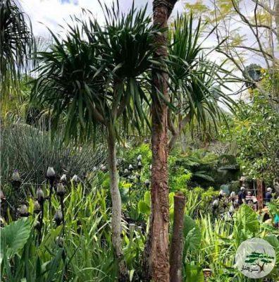 گیاه دارسینا Dracaena Arborea