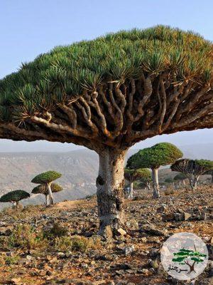 گیاه دراسینا Dracaena Draco