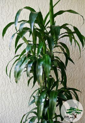 گیاه دراسینا Dracaena deremensis Lisa