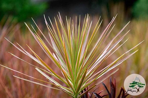 گیاه دراسینا Dracaena marginata tricolor