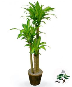 گیاه دراسینا Dracaena massangeana