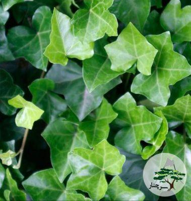گیاه پیچک English Ivy
