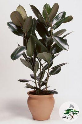 گیاه فیکوس الاستیکا