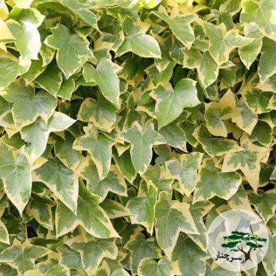 گیاه پیچک Goldchild Ivy