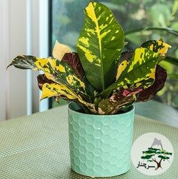 گیاه کروتون Magnificent Croton