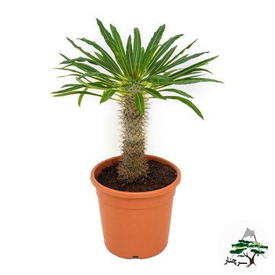 گیاه نخل ماداگاسکار , نحوه نگهداری و پرورش