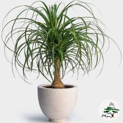 گیاه لیندا-گیاهان آپارتمانی مقاوم به کم آبی