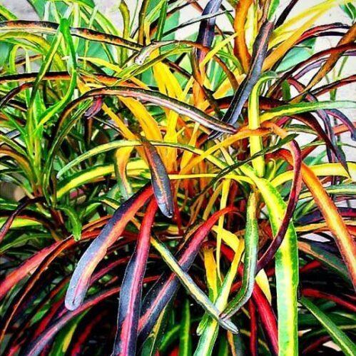 -گیاهان آپارتمانی مقاوم به گرماZanzibar Croton