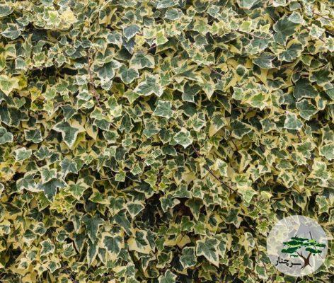 گیاه پیچک Algerian Ivy