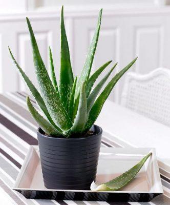 گیاهان آپارتمانی مقاوم-گیاهان آپارتمانی سریع الرشد