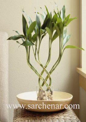 گیاه بامبو لاکی