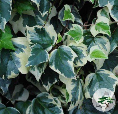 گیاه پیچک الجزایری gloire-de-marengo
