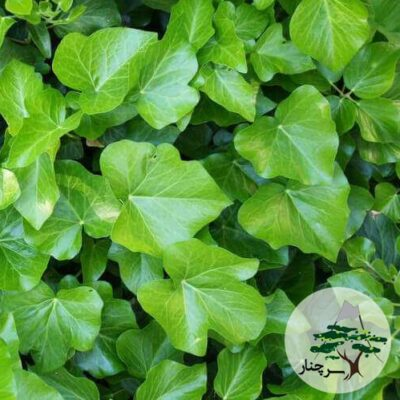 irish-ivy