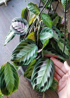 گیاه مارانتا لوکونورا , گیاهان آپارتمانی سایه دوست