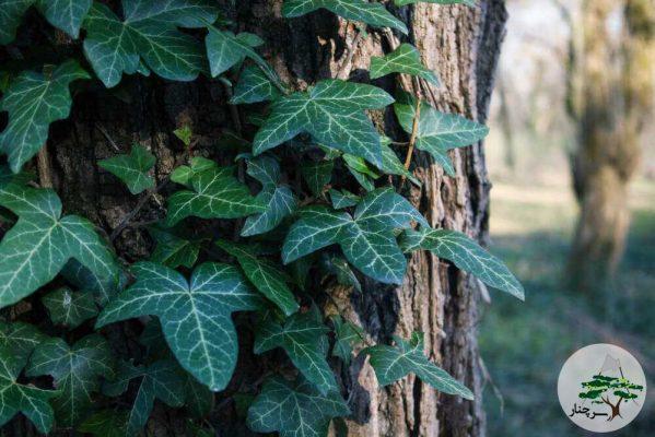 nepalese-ivy