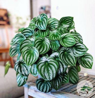 گیاه قاشقی peperomia argyreia