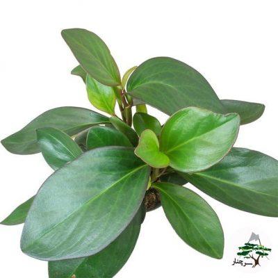 clusiifolia