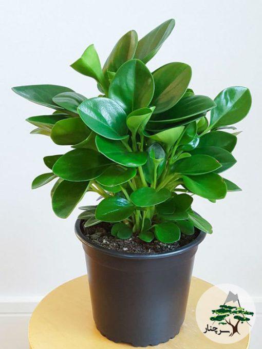 peperomia-obtusifolia- گیاه قاشقی