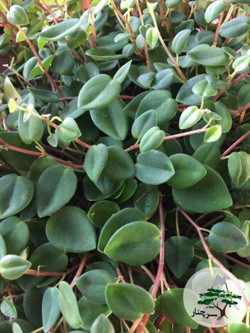 گیاه قاشقی peperomia perciliata