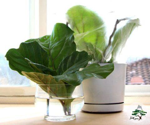 گیاه فیکوس لیراتا