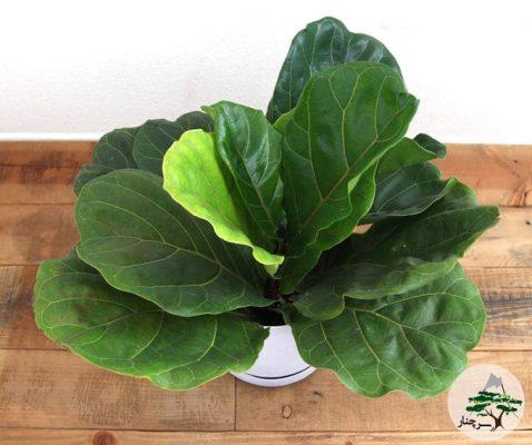 گیاه فیکوس لیراتا را چگونه  در خانه پرورش بدهیم؟