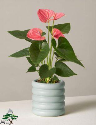 گل تسلیت - آنتوریوم