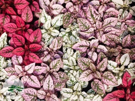 گل سنگ یکی از متنوع ترین گل های آپارتمانی