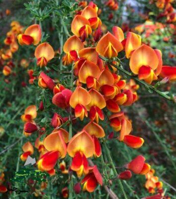 گل طاووسی