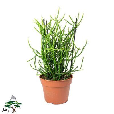 گیاه آپارتمانی افوربیا