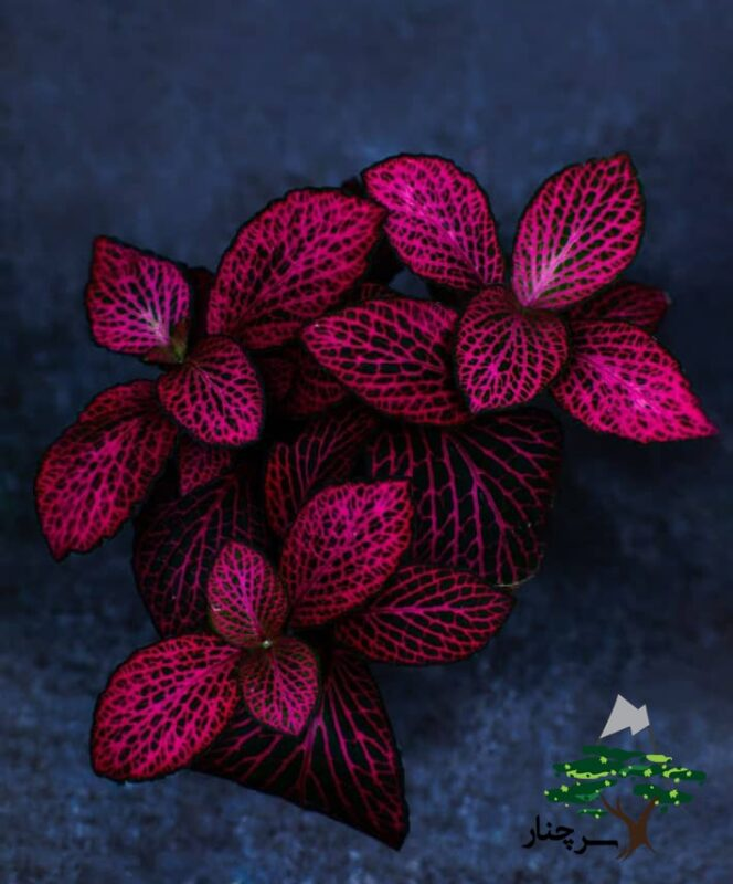 گل سنگ