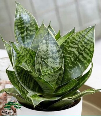 گیاه آپارتمانی سانسوریا-گیاهان آپارتمانی مقاوم به کم آبی