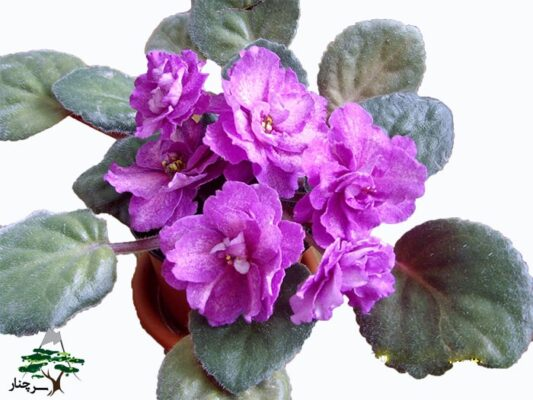 شرایط لازم برای نگهداری گل بنفشه آفریقایی